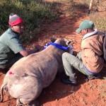 Close Up Of Darted Rhino