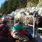 Dr. Beckmen of Alaska Fish and Wildlife Darting Sea Lions In Conservation Efforts