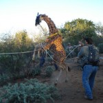 Mike Ross Captures Giraffe