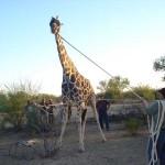 Mike Ross Wrangles Giraffe For Transportation