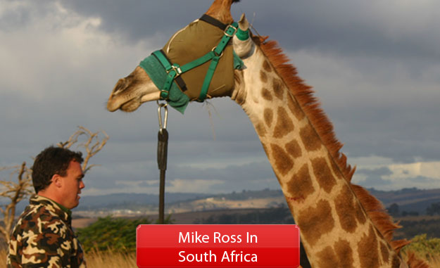 Mike Ross Translocating Giraffe In South Africa